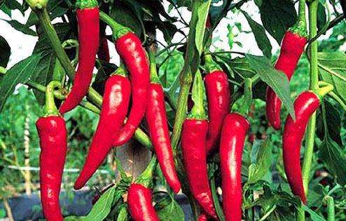 研究发现:多吃辣椒可以预防糖尿病!