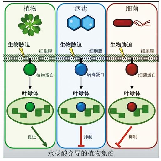 探寻植物抗病之路: 我国细胞膜信息传递研究获重大发现