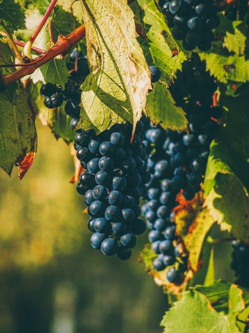 西班牙跨年要吃12颗葡萄 葡萄的营养价值大吗